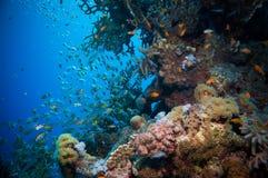 Banco de areia de Glassfish (vassouras douradas) na água azul clara do Mar Vermelho Imagem de Stock Royalty Free