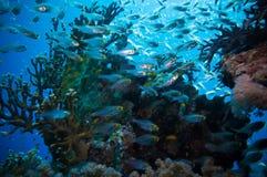Banco de areia de Glassfish (vassouras douradas) na água azul clara do Mar Vermelho Foto de Stock