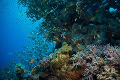 Banco de areia de Glassfish (vassouras douradas) na água azul clara do Mar Vermelho Fotografia de Stock