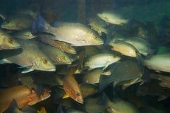 Banco de areia de peixes da caranga cinzenta sob uma doca as Caraíbas Imagens de Stock