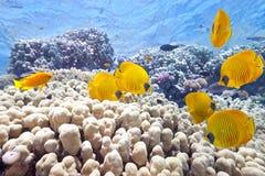 Banco de areia de peixes de borboleta Fotografia de Stock