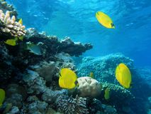 Banco de areia de peixes de borboleta imagens de stock