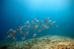Banco de areia de peixes do sarpa fotografia de stock royalty free
