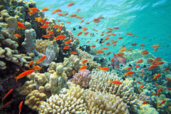 Banco de areia de peixes do scalefin foto de stock royalty free