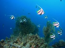 Banco de areia do bannerfish fotografia de stock