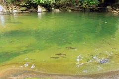 Banco de areia dos peixes na cachoeira foto de stock