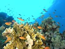 Banco de areia dos peixes no recife foto de stock royalty free