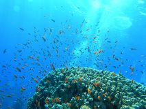 Banco de areia dos peixes no recife Imagem de Stock