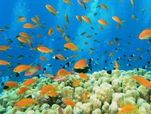 Banco de areia dos peixes no recife fotografia de stock