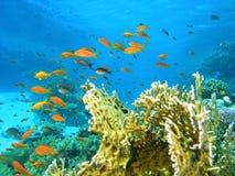 Banco de areia dos peixes no recife Imagens de Stock Royalty Free