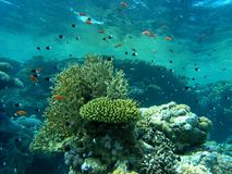 Banco de areia dos peixes no recife Fotos de Stock Royalty Free