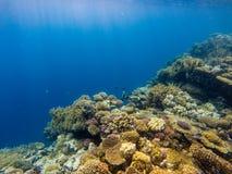 Banco de areia de peixes dos anthias no recife de corais imagem de stock royalty free