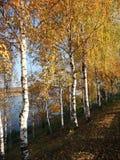 Banco de los abedules del otoño del río Imagenes de archivo
