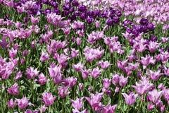 Banco de tulipanes púrpuras Imagen de archivo libre de regalías