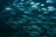 Banco dei pesci blu immagine stock libera da diritti
