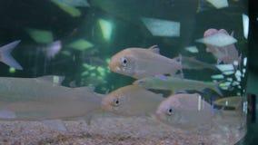 Banco dei pesci d'argento che nuotano in acquario enorme archivi video