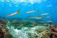Banco dei pesci del Barracuda Fotografia Stock Libera da Diritti