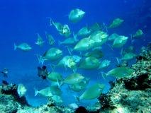Banco dei pesci del chirurgo dell'unicorno o della linguetta Fiji Immagine Stock