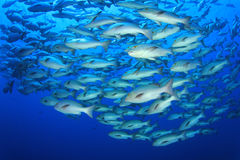 Banco dei pesci dello snapper Fotografia Stock
