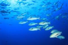 Banco dei pesci dello snapper Fotografia Stock Libera da Diritti