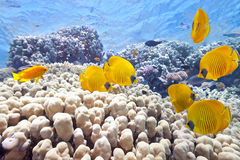Banco dei pesci di farfalla fotografia stock