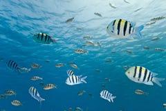 Banco dei pesci di sergente immagini stock