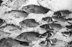 Banco dei pesci su ghiaccio Immagini Stock