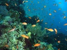 Banco dei pesci sulla scogliera immagine stock