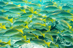 Banco dei pesci tropicali Fotografia Stock Libera da Diritti
