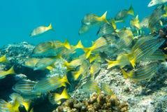 Banco dei pesci tropicali Immagine Stock