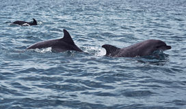 Banco della nuotata selvaggia dei delfini Immagine Stock Libera da Diritti