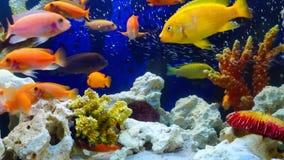 Banco della nuotata viva gialla del pesce fra la barriera corallina archivi video