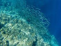 Banco della sardina e barriera corallina in acqua del mare aperto Il pesce massiccio istruisce la foto subacquea Nuoto pelagico d immagini stock