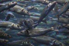Banco della scuola del pesce in oceano blu fotografie stock libere da diritti