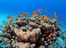 Banco di Anthias sopra il Mar Rosso della scogliera di Goniopora Fotografie Stock Libere da Diritti