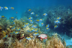 Banco di pesci in un fondale marino della barriera corallina Immagine Stock Libera da Diritti