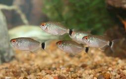Banco di tetra pesci dell'occhio rosso. Fotografia Stock Libera da Diritti