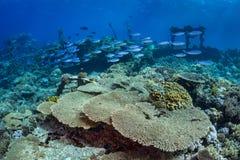 Bancs de poissons au-dessus du récif coralien photos stock