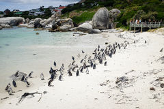 Band of African Penguins Stock Photography