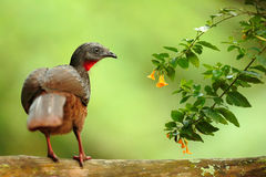Band-angebundenes Guan, Penelope-argyrotis, seltener Vogel von dunklem Wald-Santa Marta-Berg, Kolumbien Birdwatching in Südamerik lizenzfreies stockfoto