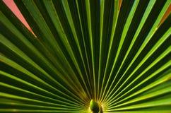 Band av tropisk palmbladtextur med solen rays, grönskabakgrund Fotografering för Bildbyråer
