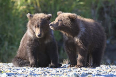 Band of brothers. Two brown bear cubs waiting on mother Stock Photo