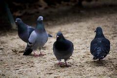Band der Taube in Parc-monceau Paris lizenzfreie stockfotos