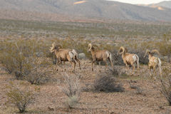 Band of Desert Bighorn Rams. A herd of desert bighorn sheep rams in the Nevada desert Stock Photos