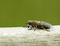 Band Eyed Brown Horse Fly Royalty Free Stock Image
