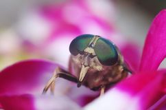 Band-eyed Brown Horsefly Portrait. Tabanus bromius, also called the band-eyed brown horsefly, sitting on a flower.This horsefly bites painfully Stock Photos