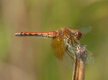 Band-geflügeltes Meadowhawk Stockfoto