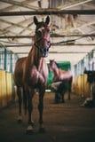 Band hästen till stallen Royaltyfri Fotografi