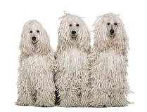 band med rep poodles som sitter white för normal tre arkivfoto