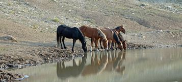 Band Of Wild Horses Reflecting In The Water While Drinking At The Waterhole In The Pryor Mountains Wild Horse Range In Montana USA Stock Photos